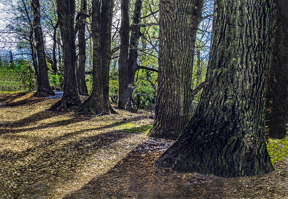 Company of trees grouped near a path through the Montebello woods, seen in a late afternoon sun casting a pattern of shadows on the ground.