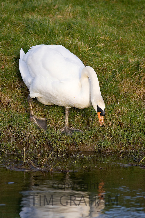 Mute swan on the edge of the River Windrush, Oxfordshire, United Kingdom.