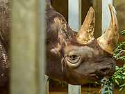15 MAY 2019 - DES MOINES, IOWA: AYANA, a 9 year old female eastern black rhinoceros and mother of newborn Kamara at Blank Park Zoo in Des Moines. The eastern black rhinoceros (Diceros bicornis michaeli) is also known as the East African black rhinoceros. It is a subspecies of the black rhinoceros. Its numbers are very low due to poaching for its horn and it is listed as critically endangered. There are fewer than 1,000 left in the wild.        PHOTO BY JACK KURTZ