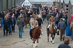 © Licensed to London News Pictures. 28/10/2016. Builth Wells, Powys, Wales, UK. The stable area is busy as Cobs are readied for auction- Welsh Cobs Section D and Welsh Ponies of Cob Type Section C - on the second day of The Autumn Cob Sale - the largest sale in the World of registered Welsh Cobs Section D, Welsh Ponies of Cob Type Section C and their Part Breds. The sale takes place over three days at The Royal Welsh Showground in Builth Wells, Powys, UK, attracting an audience of thousands of Welsh Cob enthusiasts worldwide. Photo credit: Graham M. Lawrence/LNP