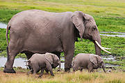 A very rare pair of elephant twins (Loxodonta africana) walking beside their protective mother ,Amboseli, Kenya, Africa