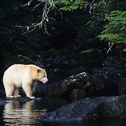 Kermode black bear (Ursus americanus) in its white color phase. This bear is also known as the spirit bear. Princess Royal Isle, Canada
