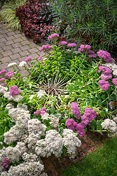 Example of a sedum that has not been given the Chelsea chop resulting in it flopping over. Sedum spectabile 'Stardust'