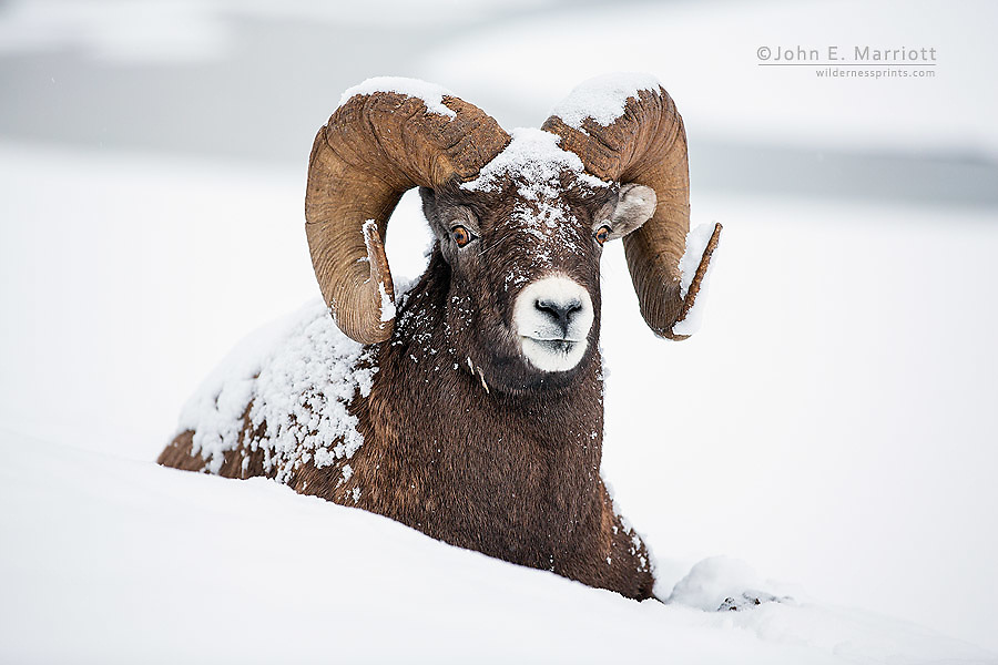 Bighorn sheep ram, Jasper National Park