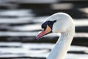 Portrait of a Mute Swan | Portrett av en Knoppsvane.