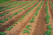 AF5CPB Young potato crop in ridges in a field Suffolk England