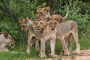 Lioness (Panthera leo) & cubs<br /> Marataba, a section of the Marakele National Park, Waterberg Biosphere Reserve<br /> Limpopo Province<br /> SOUTH AFRICA