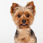 20200325 Yorkshire Terrier