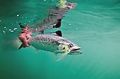 Spanish Mackerel Photos