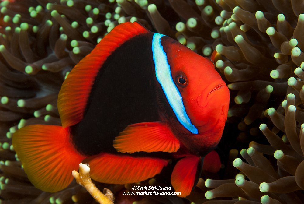 A female Tomato Anemonefish, Amphiprion frenatus, snuggles among tentacles of its host sea anemone. Visayan Sea, Philippines, Pacific Ocean