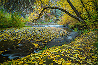 The Logan River flows through the surrounding Fall colors in Logan Canyon as leaves dot the ground along a quite streamside trail.
