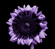 A Sunflower seen in ultraviolet (UV) radiation. The image shows the different patterns on the flower petals that have evolved to attract insects to the flower. These patterns are often called honey guides. This image is part of a series showing the same flower in ultraviolet (UV) radiation and visible light.