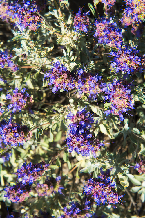 Late spring in Central Washington is a beautiful time of year in the sagebrush steppes and canyons. It seems that every nook and cranny had purple sage blooming, accompanied by the buzz of dozens of busy bumblebees.