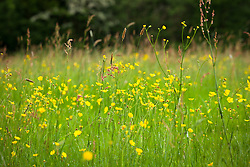 Buttercups and sorrel growing in a meadow