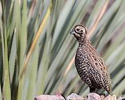 A male Montezuma Quail (Mearns quail) along the trail in Coronado National Memorial