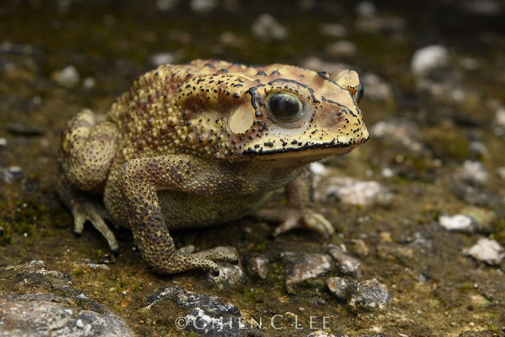 Asian Toad (Duttaphrynus melanostictus), an introduced and invasive species in New Guinea. Nimbokrang, Papua, Indonesia (New Guinea).