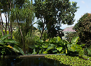 Alocasia, (Elephant Ear Plant) and Cordyline around a pond in the Sunnyside Garden, St. George's, Grenada, the West Indies, the Caribbean