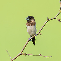 """The white-rumped munia or white-rumped mannikin (Lonchura striata), sometimes called striated finch in aviculture, is a small passerine bird from the family of waxbill """"finches"""" (Estrildidae)."""