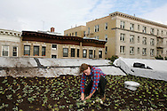 """A """"greenroof"""" installation in a limestone turn of the century home in Park slope Brooklyn. This is a layer of low-growing, drought-tolerant plants (sedum) that will cover the entire roof serves as insulation for the house and is also good for the environment.. A green roof reduces energy consumption and green house gases, saves money, and cools city temperatures  Marni Horwitz of Alive Structures is shown planting the sedum.  The house is located on a block that was voted Greenest Block in Brooklyn 2008."""