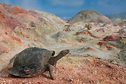 Galapagos Giant Tortoise (Geochelone elephantophus vandenburghi) and fumaroles.<br /> Alcedo Volcano crater floor, Isabela Island<br /> GALAPAGOS ISLANDS<br /> ECUADOR.  South America<br /> One of 11 sub-species survising in the islands. This is an example of the dome-shaped sub-species. Alcedo hosts over half the 15,000 tortoises left in Galapagos. All tortoises were heavy hunted for food in the past. Dome-shaped males are double the size of the females. Males stay mainly in the highlands while females migrate towards the coast when they need to lay eggs.