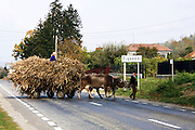Romania, Transylvania, Zigoneni, A mature peasant couple transport a cart load of corn stems with the aid of a pair of oxen