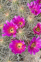 This fantastically beautiful and very long-spined cactus found in the Chihuahuan Desert of Texas and Arizona in the United States, and in the Mexican states of Coahuila, Chihuahua, and Nuevo León. It gets its species name (stramineus - which means made of straw) from the way these thick, brittle spines resemble dried straw. Clumps of 100 or more stems are not uncommon, and when they are in flower, it is one of the most spectacular of all of the Chihuahuan cacti! This one was photographed in Western Texas in Big Bend National Park.