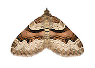 70.053 (1722)<br /> Flame Carpet - Xanthorhoe designata