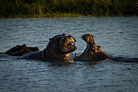 Two Playfighting hippos in Chobe National Park, Botswana