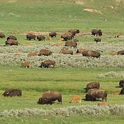 Bison (Bison bison) grazing in Hayden Valley in Yellowstone National Park,  Wyoming.