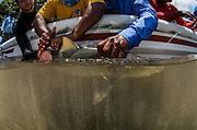 Lemon Shark (Negaprion brevirostris) research<br /> MAR Alliance<br /> Lighthouse Reef Atoll<br /> Belize<br /> Central America