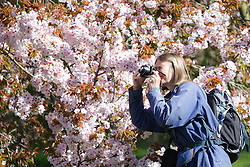 © Licensed to London News Pictures. 22/04/2015. Bristol, Avon, UK. A woman take a photograph of Cherry Blossom at Westonbirt, The National Arboretum today, 22nd April 2015. The south west of England is set for more warm temperatures and plenty of sunshine today. Photo credit : Rob Arnold/LNP