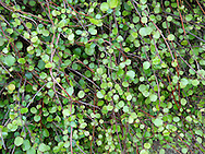 Wire Plant MUEHLENBECKIA COMPLEXA Height to 3m<br /> Straggly, spreading plant with reddish, wiry stems. Often smothers other plants. Flowers are small and whitish. Fruits are white berries. Leaves are small and oval. Status-Native of New Zealand, introduced and grown in gardens. Naturalised on Isles of Scilly.