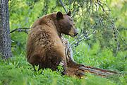 Cinamon black bear in early summer in Grand Teton National Park