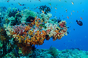 Coral reef diversity<br /> Raja Ampat<br /> West Papua<br /> Indonesia