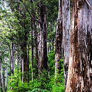 Karri Forest, Western Australia