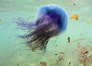 Blue Jellyfish - Cyanea lamarckii