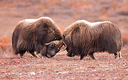 Alaska. Muskox (Ovibos moschatus) bulls head-butting in battle over herd domiance during the autumn breeding season on the Seward Peninsula, outside of Nome.