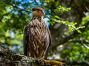 Carancho, or southern caracara (Caracara plancus, in the family Falconidae), at Pampa Linda, in Nahuel Huapi National Park, in the southern Andes, near Bariloche, in the Lake District of Argentina, in the Patagonia region of South America. A bold, opportunistic raptor, the carancho is often seen walking around on the ground looking for food. It mainly feeds on carcasses of dead animals, but will steal food from other raptors, raid bird nests, and take live prey such as insects.
