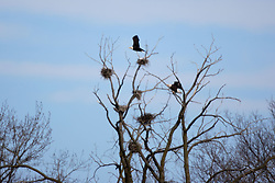 07 February 2007:  Birds at Starved Rock State Park in Illinois gather just below the locks to find open water for food.  Birds include the American Bald Eagle, Canadian Geese, and Gulls. (Photo by Alan Look)
