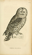 Ural owl (Strix uralensis Syn Surnia uralensis) is a fairly large nocturnal owl. It is a member of the true owl family, Strigidae. from volume XIII (Aves) Part 2, of 'General Zoology or Systematic Natural History' by British naturalist George Shaw (1751-1813). Griffith, Mrs., engraver. Heath, Charles, 1785-1848, engraver. Stephens, James Francis, 1792-1853 Published in London in 1825 by G. Kearsley