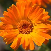 Bright orange Calendula flower (Calendula officinalis)