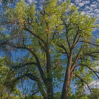 """Cottonwoods thrive in groves called """"galleries"""" that line riverbeds in the Missouri River Breaks of central Montana."""