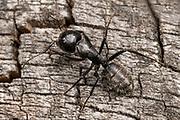 Close up of a large black carpenter ant (Camponotus vagus) scuttling over a tree stump in a coastal habitat in Rovinj, Croatia