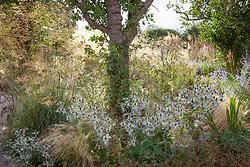Border under tree at Fields Farm with Stipa tenuissima, Stipa gigantea and Eryngium giganteum 'Miss Willmott's Ghost'