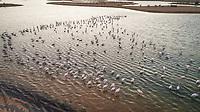Aerial view of Flamingos in Al qudra lakes in the middle of the Saih Al Salam Desert in Dubai, UAE.