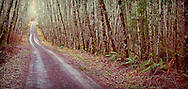 Minard Road to Gold Mountain traverses a red alder forest in rural Kitsap County, Washington, USA