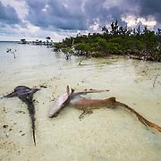 A female nurse shark rolls away from an advancing male.