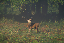 © London News Pictures. 06/10/2013. Richmond, London, UK.  A deer stag calling out in Autumn early morningsunrise in Richmond Park, West London. The UK is experiencing an unusually warm start to the Autumn with temperatures reaching 20 degrees in parts.  Photo credit: Ben Cawthra/LNP