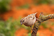 Female House Sparrow (Passer domesticus) Israel Spring APril