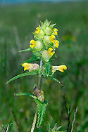 YELLOW-RATTLE Rhinanthus minor (Scrophulariaceae) Height to 45cm. Variable, upright and almost hairless annual that is semi-parasitic on the roots of other plants. The stems are stiff, 4-angled and often marked with dark spots and streaks. Grows in undisturbed meadows and stabilised dunes. FLOWERS are 10-20mm long, the corolla yellow, 2-lipped and somewhat tubular and straight, the 2 teeth on the upper lip are 1mm long; borne in spikes with triangular, toothed and leaf-like green bracts (May-Sep). FRUITS are inflated capsules inside which the ripe seeds do indeed rattle. LEAVES are oblong with rounded teeth. STATUS-Widespread and common.